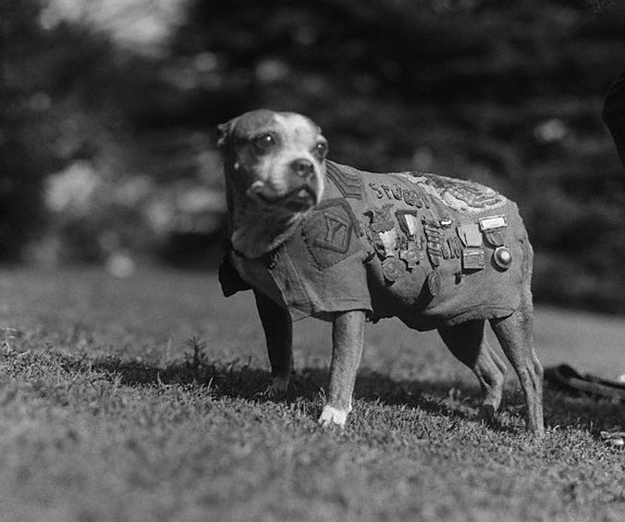 World War I American guide dog Sergeant Stubby